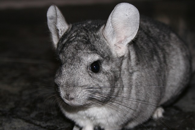 reproduction chinchilla